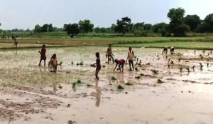 15-07-15 Mawai - Dhaan Kheti web