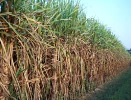 ganna peraai (sugarcane research)