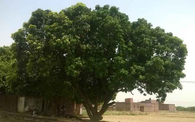 पेड़ के एक हिस्से में लगा है आम दूसरा हिस्सा है खाली