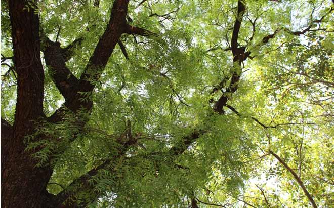 नीम का पेड़, जो उनके घर के साथ-साथ उनकी ज़िन्दगी का भी हिस्सा था