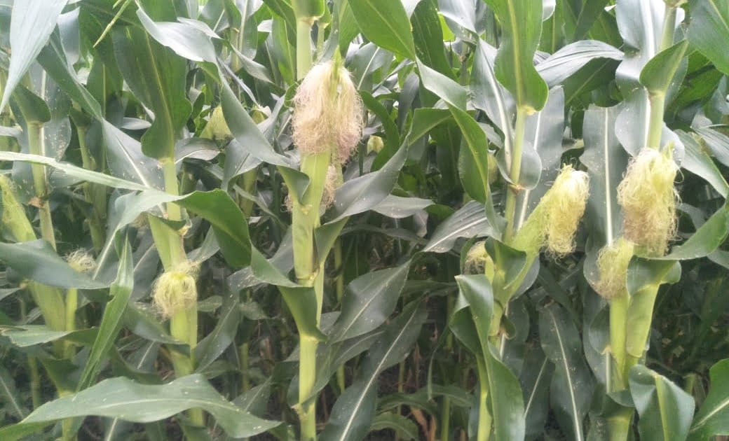 Coarse cereal crop will again bloom in Bundelkhand