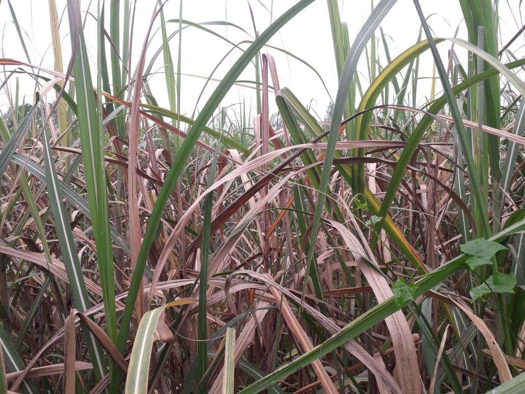 Drought disease in sugarcane crop
