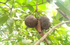 Insects in guava