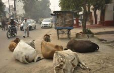 Cows die daily from hunger