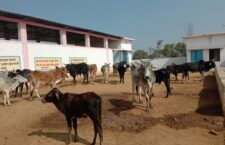 Animals dying daily from lack of fodder and straw in the cowshed
