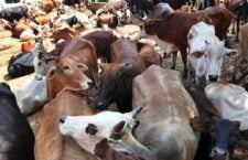 Social organizations launched a campaign to protect cow,