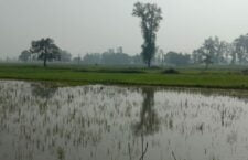 Crops submerged, wheat rot in the field before growing