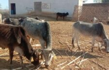 लाडपुर गौशाला में आए दिन मरती गाय
