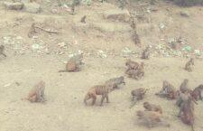 in chitrakoot Terror of monkeys spread in the village