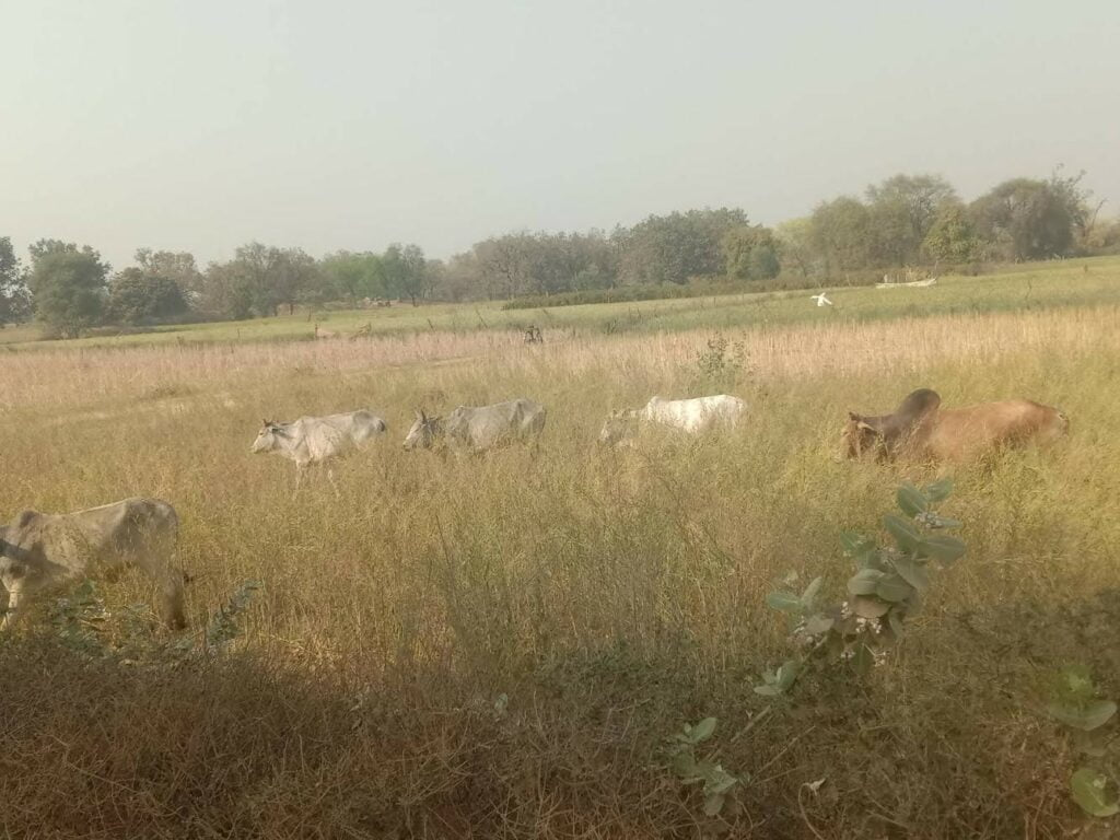 in chitrakoot annajanavar-is-wandering-outside-the-cowshed
