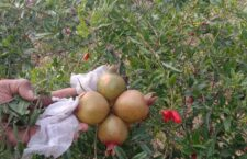 How can you increase your income by cultivating pomegranate
