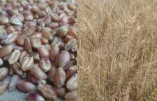 farmers-prepare-black-wheat-crops