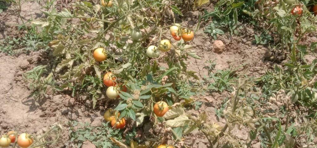 tomato image by khabar lahariya