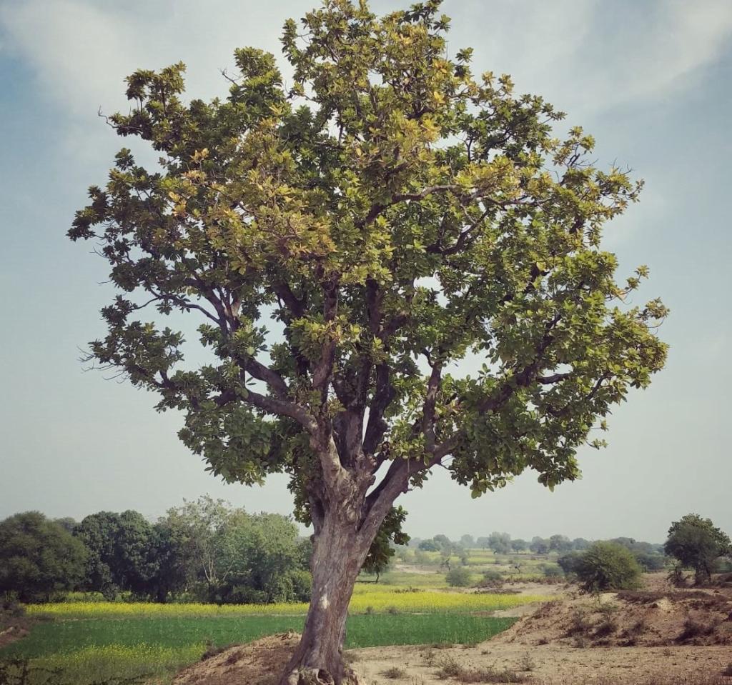 Mahua tree in Bundelkhand. 2020.