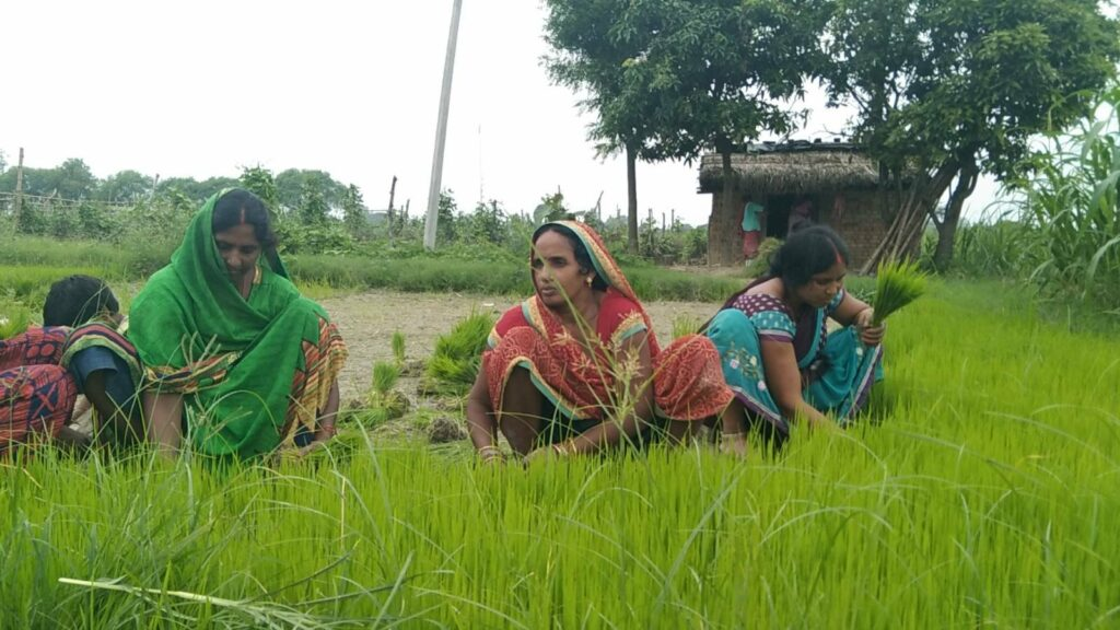 paddy crops farming image by khabar lahariya