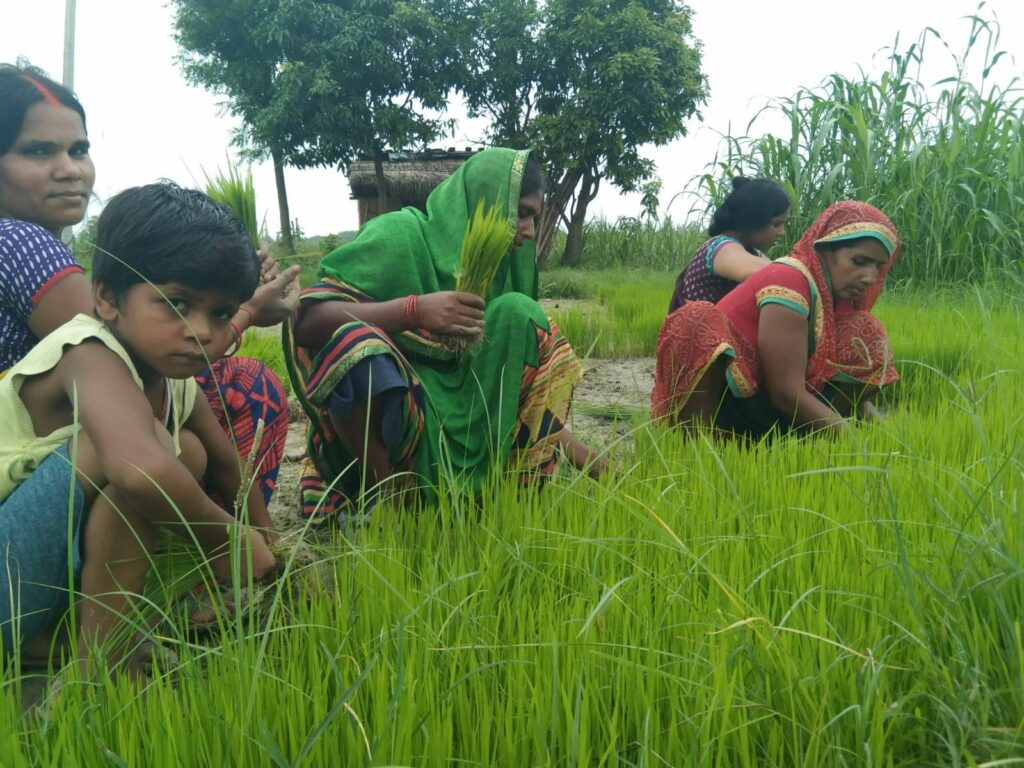 paddy crop image by khabar lahariya