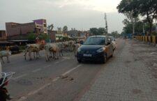 चित्रकूट: गांवों में नहीं बनीं गौशाला, सड़कों पर भटकने को मजबूर गौवंश
